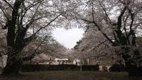 日本3大花見祭りの青森県弘前花見祭りに清浄済州の特産品を紹介